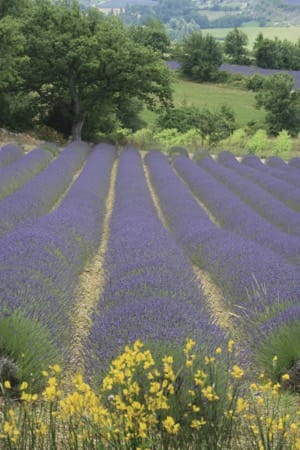 Lavender fields in the valley of Sainte Jalle